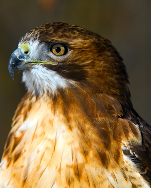 LSNC's Red-tailed Hawk